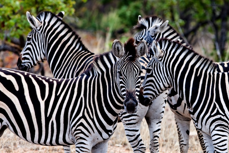 Zebra's in Kruger National Park
